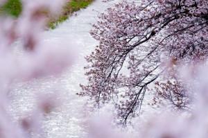 西條川桜3