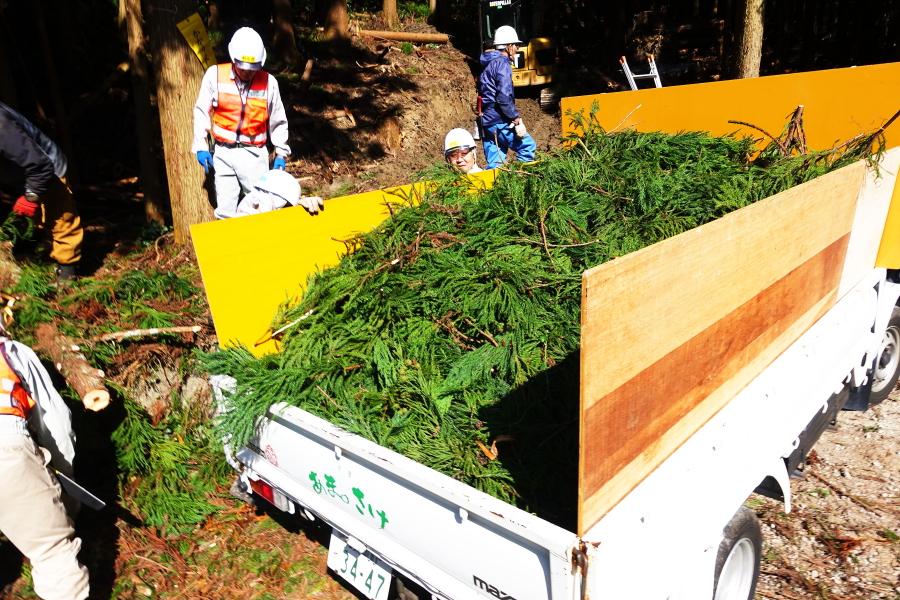 杉の葉採取